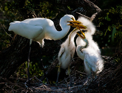 Feeding time in a great egret nest