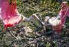 Rosseate spoonbills building their nest