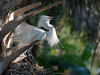 Snowy Egret Displaying on its Nest