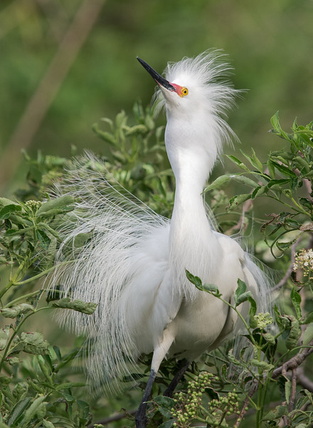 Snowy Egret  Displaying