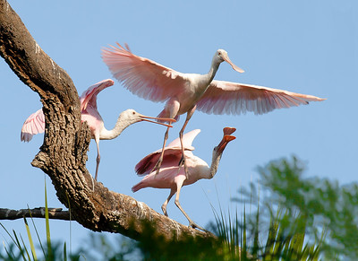 A young roseate spoonbill takes flight, egged on by a parent (right) and sibling