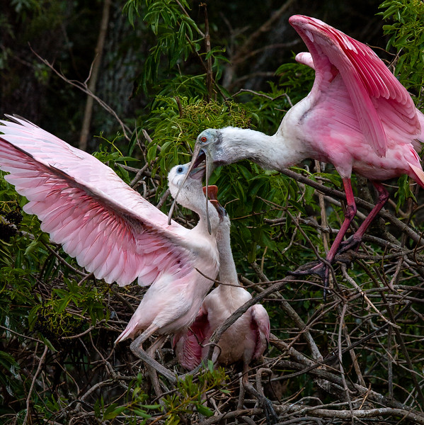 Roseate Spoonbill Feeding Young(July 2010)