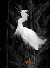 Snowy Egret Displaying St. Augustine, May 2011