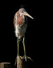 A young tricolored heron catching some early morning rays  St. Augustine, June 2010