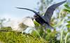 Little Blue Heron Feeding Young
