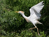 Cattle Egret Exiting Nest