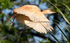 Cattle Egret with Unusual Rust Colored Breeding Plumage