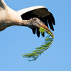 A woodstork wings it home with a cypress sprig for the nest.