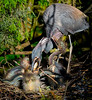 Tricolored Heron Nest at Feeding Time