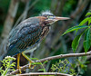 Green Heron (Chick)