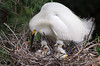 Snowy Egret with Hatchlings