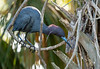 A little blue heron returning to its nest with a new twig.