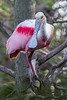 Roseate Spoonbill in Mating Plumage