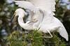 Snowy Egret Parent & Chick