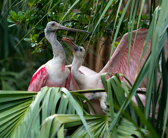 Roseate Spoonbill with Chick