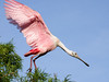 Roseate Spoonbill Parent Heading to Nest for Feeding Time
