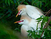 A nesting pair of cattle egrets