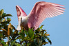 Roseate spoonbill collecting nest material St. Augustine, May 2011