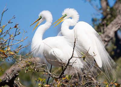 A pair of great egrets taking a break from nest building to enjoy each other. Today in St. Augustine.