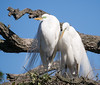 A nesting pair of great egrets on a chiiy morning