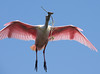 Roseate Spoonbill Returning to Nest with Twig