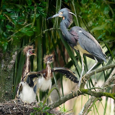 Tfricolored Heron with Hungry Chicks