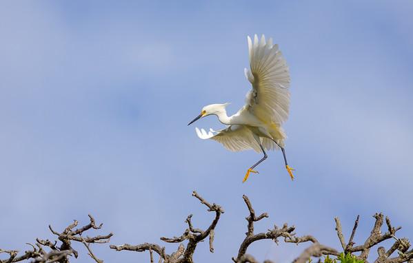 """""""Grace"""" (snowy egret)"""