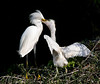 Snowy Egret Feeding Young