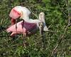 Roseate Spoonbill Nesting Pair