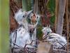 Little Blue Heron Chicks in their Nest