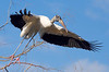 Wood stork launching into flight