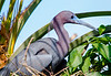 Little Blue Heron on Nest