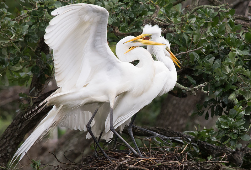 Hungry Great Egret Chicks with Parent