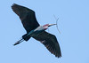 Little Blue Heron returning to nest with twig