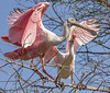 Roseate spoonbill adult and chick