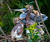 Tricolored Heron with Hungry Chicks