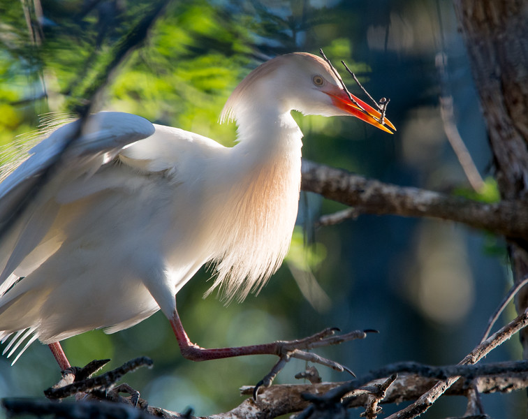 Cattle egret in breeding colors returning to the nest with a new stick.