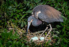 Tricolored Heron Tending Eggs