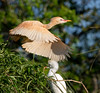 Back in 2012, I photographed this unusually colored cattle egret in St. Augustine. The one in flight is sporting breeding plumage but a rather extreme version of it — almost completely rust colored. Typically, they look more like the white one roosting below. I haven't seen one like this since then but I've heard that one has been seen this year. I'd love a chance to get some better shots.