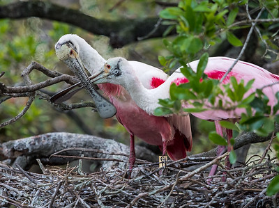 When Spoonbills feel amorous, they engage in little high-speed sword fights with their bills.  St. Augustine, 3/24/2017