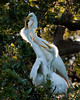 Great Egrets -- Nesting adult with young