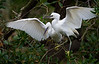 Hungry Snowy Egret Siblings