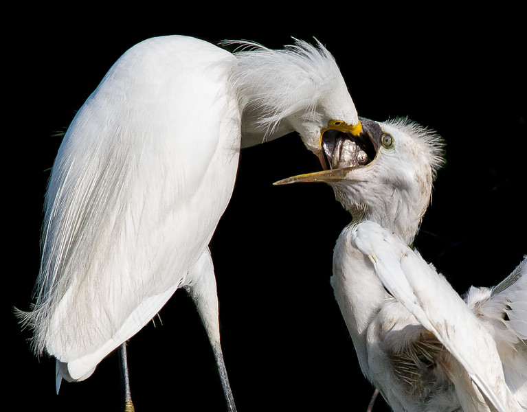 Snowy Egret Feeding Young St. Augustine, July 2012