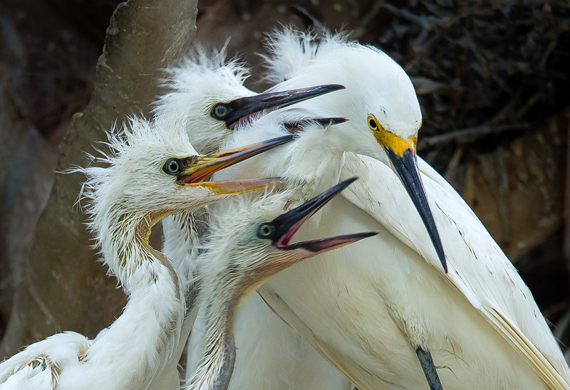 Snowy Egret with Hungry Chicks