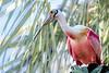 Roseate Spoonbill in Breeding Colors