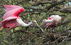 The bird on the left is returning to the nest construction site with a new twig that it has carefully selected by picking up fallen twigs and testing them for weight and strength with its bill.  The two will now work together to place the new twig.Roseate Spoonbills, St. Augustine, FL