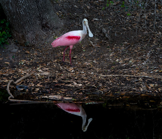 Roseate Spoonbill in breeding colors this morning in St. Augustine.
