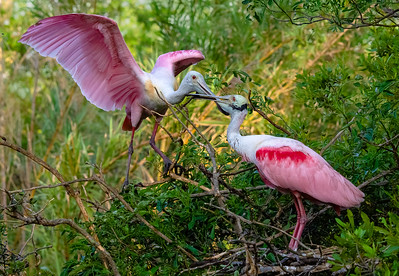 A pair of roseate spoonbills working on their nest