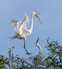 A great egret returns to its mate with a new twig for the nest