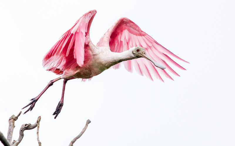Roseate Spoonbill Launching